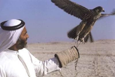 Arab_falcon_2