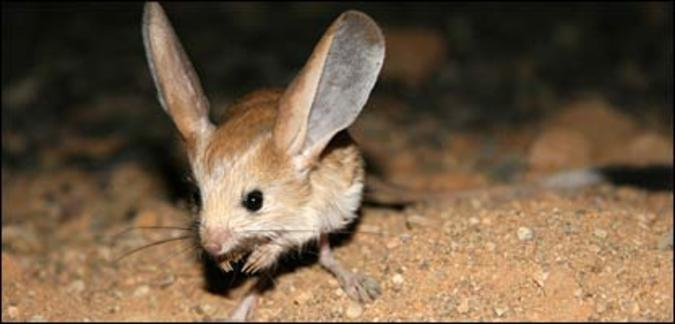 Top animales raros y casi extintos Long_eared_jerboa
