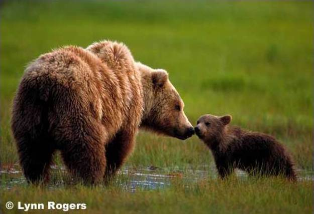 Grizzly_bear_1a