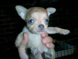 Chihuahua_009